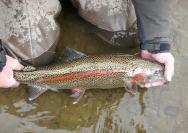 Catch and Release Steelhead